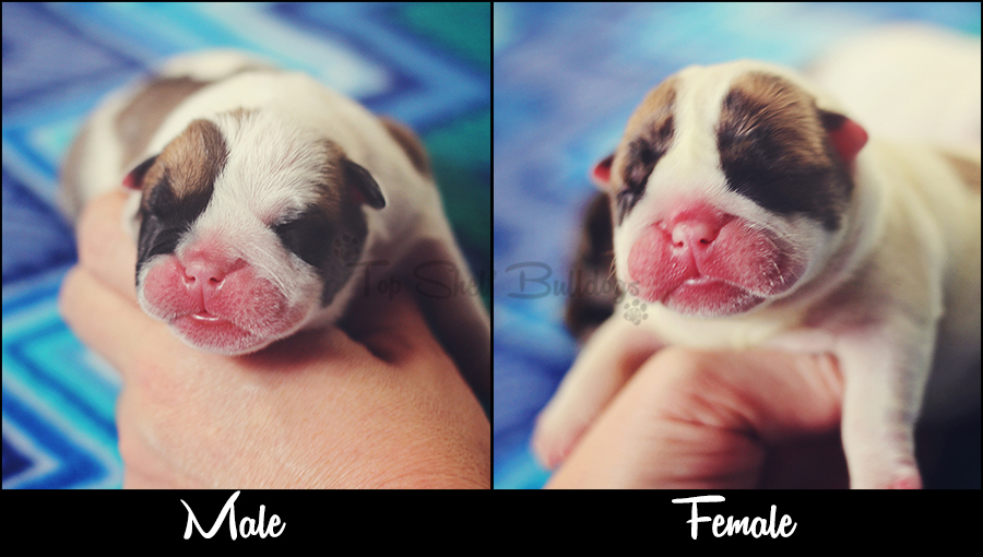 english-bulldog-newborn-puppies-side-by-side