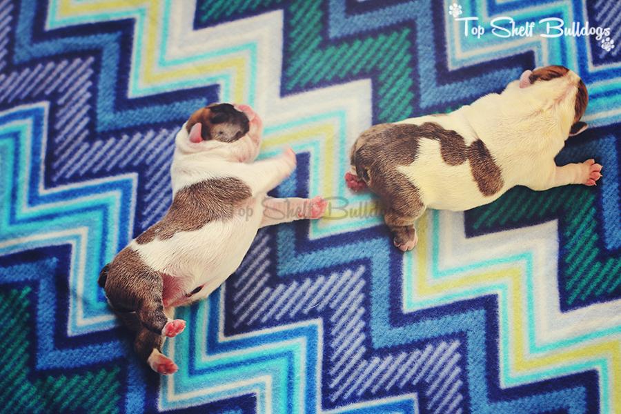 Newborn English bulldog puppies on Blue