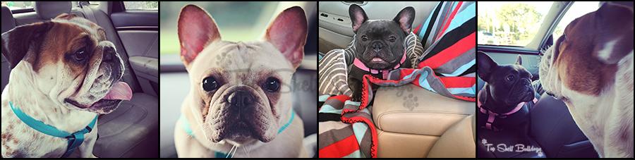 bulldog-car-ride-collage