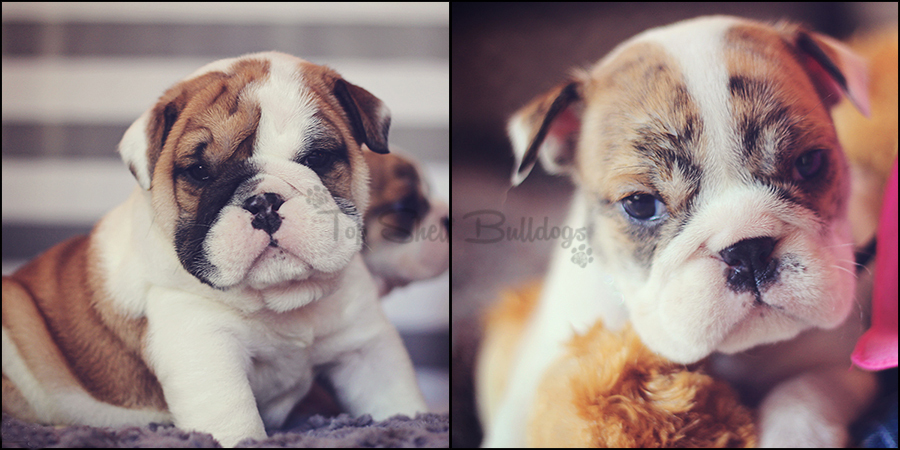 beegee-puppies-collage-male-female