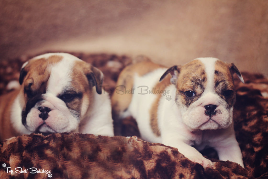 akc-english-bulldog-brother-sister