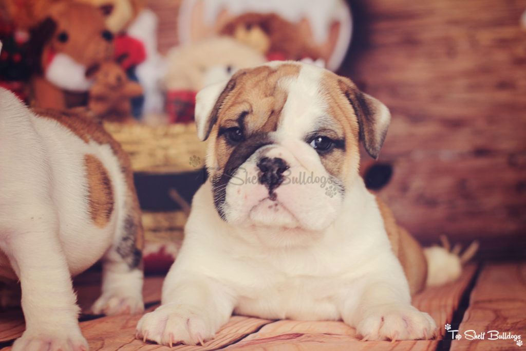 akc-english-bulldog-puppy-ready-december-2016