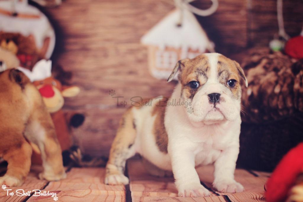 akc-english-bulldog-puppy-christmas-2016-female