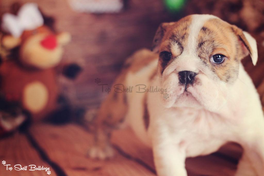 akc-english-bulldog-puppy-christmas-female