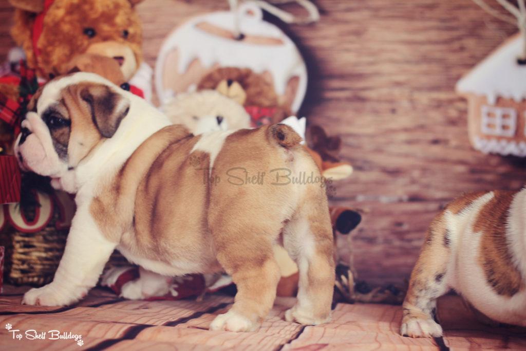 english-bulldog-puppy-male-wrinkle