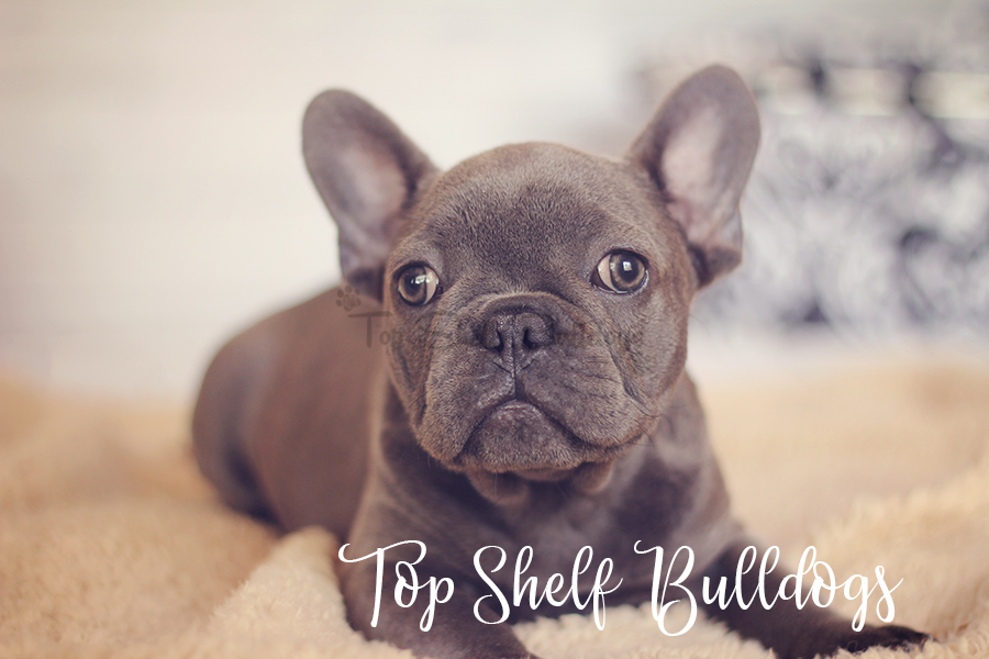 Florida In Blue French Puppies Bulldog Sale For Barry