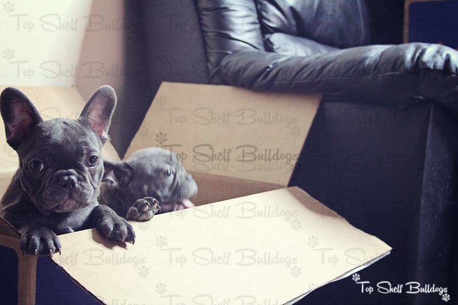 Top Shelf Bulldogs » AKC English Bulldog Puppies & AKC