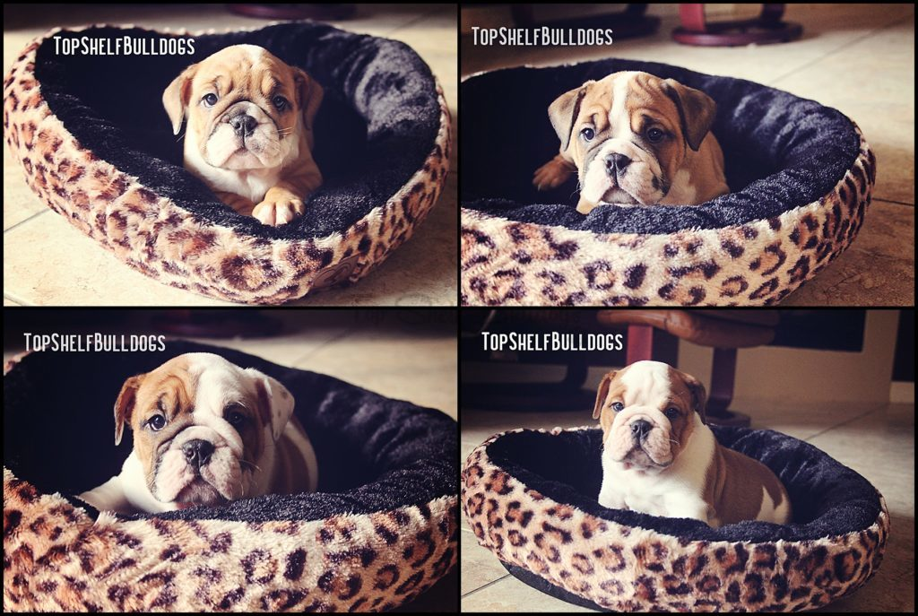 This image has an empty alt attribute; its file name is Charlie-Bulldog-puppies-collage_0000-1024x687.jpg